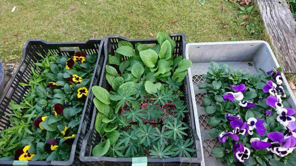 春用花壇の苗購入