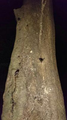 木にとまるカブトムシ